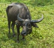 Vattenbuffel i Thailand Royaltyfria Foton