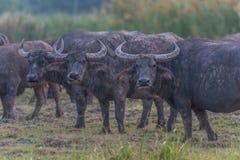 Vattenbuffel i Thailand Arkivbild
