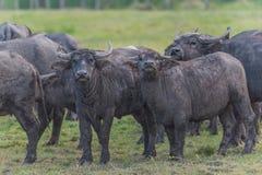 Vattenbuffel i Thailand Royaltyfri Foto