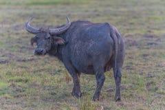 Vattenbuffel i Thailand Arkivfoto