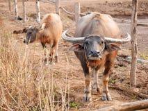 Vattenbuffel med kalven Arkivfoton