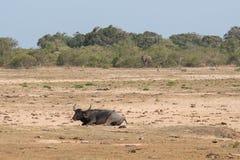 Vattenbuffel och elefant Fotografering för Bildbyråer