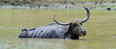 Vattenbuffel och grodor Arkivbild