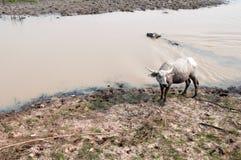 Vattenbuffel på gräsfält Royaltyfri Foto