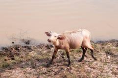 Vattenbuffel på gräsfält Royaltyfri Fotografi