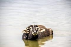Vattenbuffel på Pokhara sjön Arkivbild