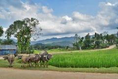 Vattenbuffel på risfält Arkivfoton