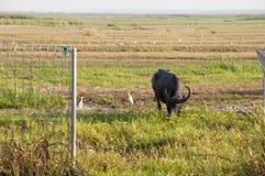 Vattenbuffel som äter gräs i ett fält Arkivfoton