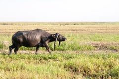 Vattenbuffel som äter gräs i ett fält Arkivbilder