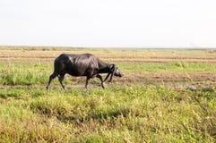 Vattenbuffel som äter gräs i ett fält Arkivfoto