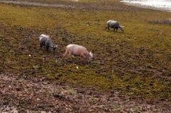 Vattenbuffel som äter gräs i ett fält Arkivbild