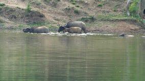 Vattenbuffel som ner vadar och kyler i dammet stock video