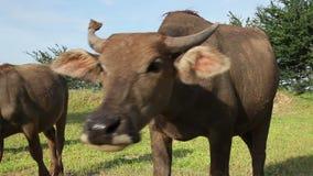 Vattenbuffel som ser kameran och framåtriktat kommer Arkivfoton