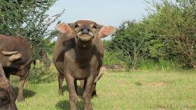 Vattenbuffel som ser kameran och framåtriktat kommer Royaltyfria Bilder