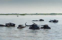 Vattenbuffeln p? Thalenoi Phatthalung, Thailand royaltyfri bild
