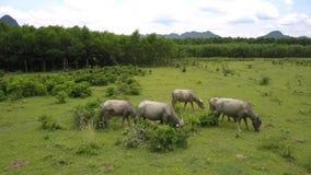 Vattenbufflar äter gräs på flyg- sikt för stora fältmoln stock video