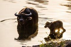 Vattenbufflar Yangshuo Kina royaltyfri fotografi