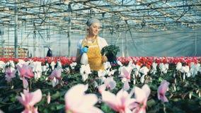 Vattencyklamen för ung kvinna blommar i krukan som arbetar i ett växthus stock video