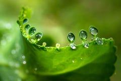 Vattendagg på små sidor av bryophyllumpinnatumen royaltyfri bild