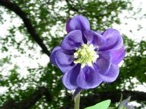 Vattendelaren blommar i den gamla trädgården Royaltyfria Bilder