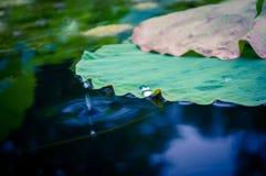 Vattendroppar med det Lotus bladet Arkivbild
