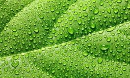 Vattendroppar på avokadobladet Arkivfoto