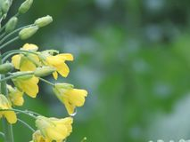 Vattendroppar på bakgrund för gul kamomill för blomma Fotografering för Bildbyråer