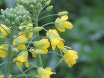 Vattendroppar på bakgrund för gul kamomill för blomma Royaltyfri Fotografi