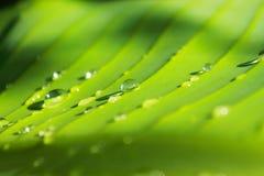 Vattendroppar på banansidor Royaltyfri Fotografi