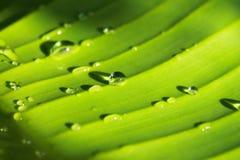 Vattendroppar på banansidor Royaltyfri Foto
