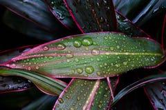 Vattendroppar på bladgräsplan Royaltyfria Bilder