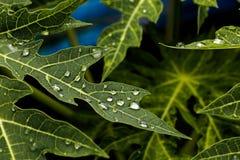 Vattendroppar på bladgräsplan royaltyfri bild