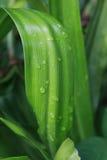 Vattendroppar på bladgräsplan Arkivbilder