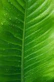 Vattendroppar på bladgräsplan Fotografering för Bildbyråer