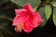 Vattendroppar på blomman Arkivbild