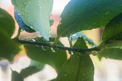 Vattendroppar på citronträdfilial Fotografering för Bildbyråer