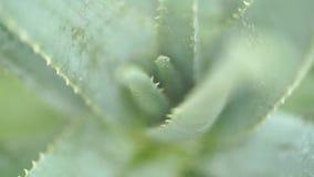 Vattendroppar på den aloevera växten
