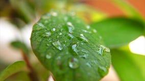 Vattendroppar på den gröna växten arkivfilmer