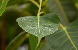 Vattendroppar på den Phycus leafen Arkivbild
