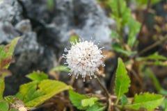 Vattendroppar på den vita blomman Arkivbilder
