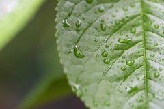 Vattendroppar på det gröna bladet grönt leafvatten för droppar mot bakgrund field blåa oklarheter för grön vitt wispy natursky fö Royaltyfria Foton