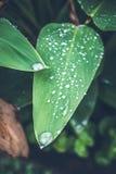 Vattendroppar på det nya gröna tropiska bladet Bali vändkretsar, Indonesien Ny grön exotisk bakgrund Royaltyfria Foton