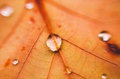 Vattendroppar på det orange bladet Makro av en leaf royaltyfria foton