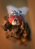 Vattendroppar på en fluga Royaltyfri Bild