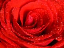 Vattendroppar på en ros Arkivfoto