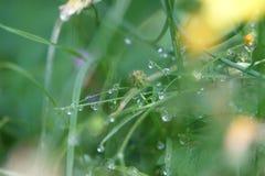 Vattendroppar på ett gräs Arkivbilder
