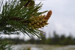 Vattendroppar på evergreen sörjer closeupen för lövruskan för trädfilialen Royaltyfri Fotografi