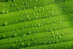 Vattendroppar på gröna bananleaves Arkivfoton