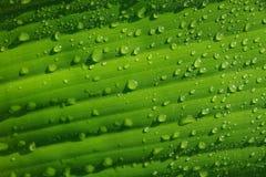 Vattendroppar på gröna bananleaves Arkivbild