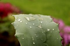 Vattendroppar på kaktuns Royaltyfria Bilder